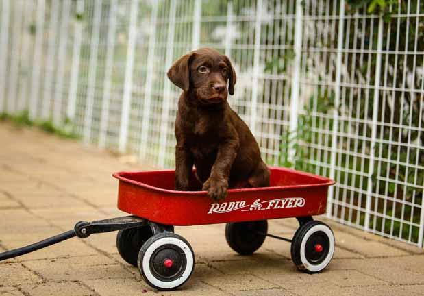 Mature labrador for sale