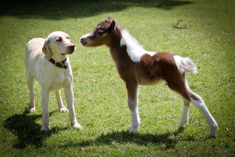 Miniature Horses For Sale Miniature Horse Breeder In Arizona