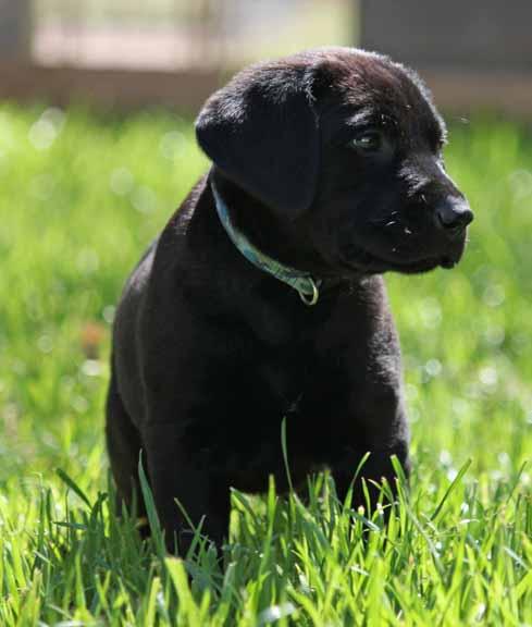 labrador retrievers for sale in arizona  labs for sale in az  hunting labradors for sale