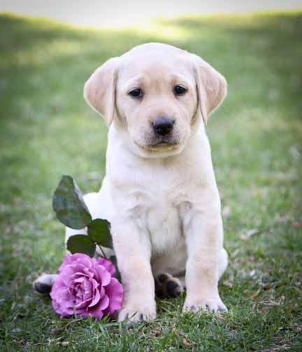 Labrador retriever puppies for sale lab breeder in for Internotes r web retriever