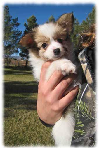 Papillon Puppies For Sale In Arizona Papillon Breeder In Az