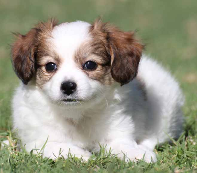papillon puppies arizona, papillon breeder az, papillon puppies for ...